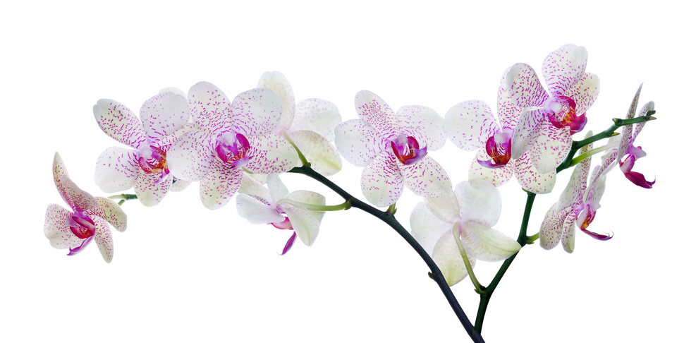 light color orchid flower in pink spots on white
